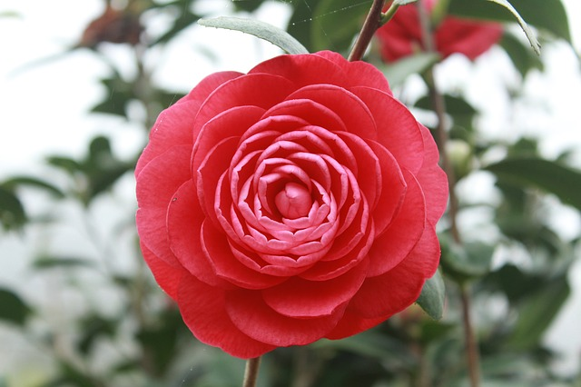 camellia-689823_640