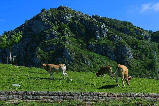 cows-1546247_640