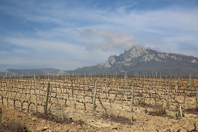 Weinreben La Rioja